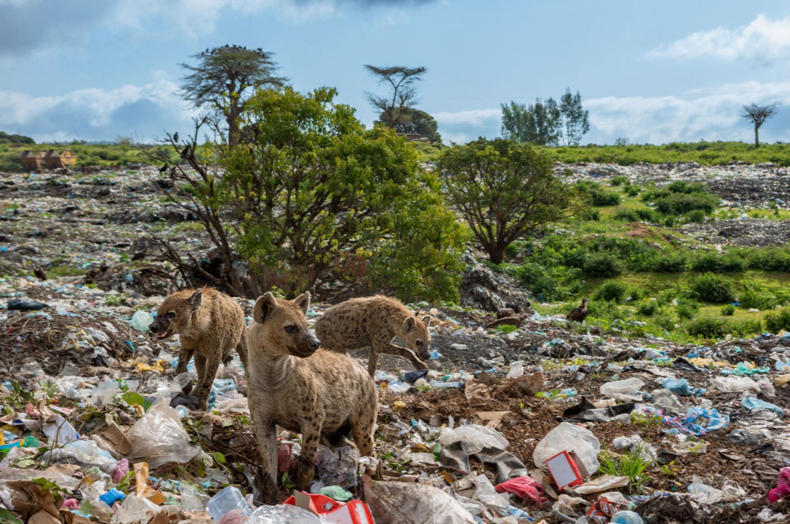 (c) Brian Lehman - Hyenas scavenging in Ethiopia